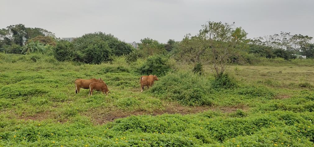灵山镇官厅村野外吃草的黄牛