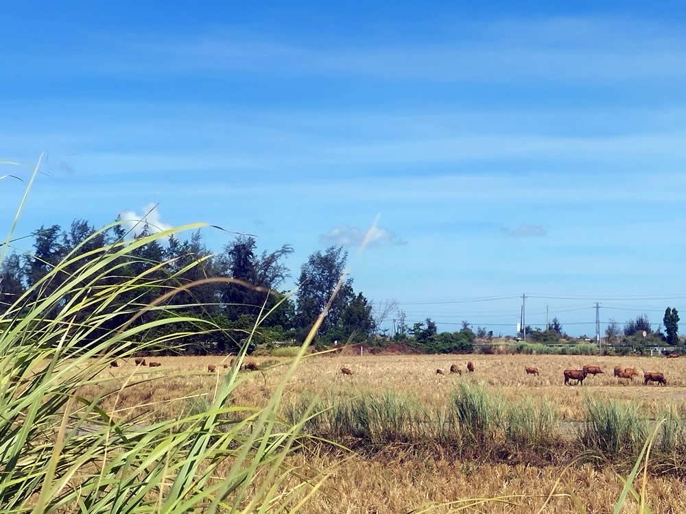 已收割的稻田