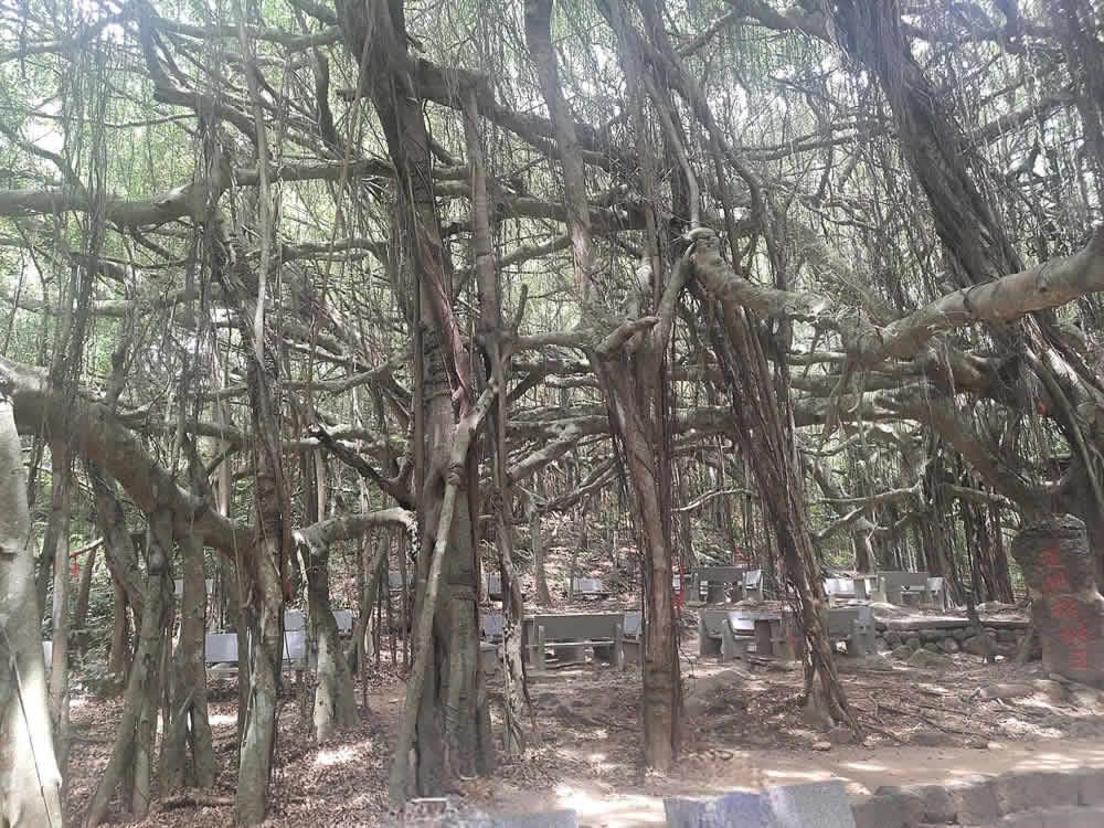 海南定安县翰林镇后领村的亚洲榕树王1