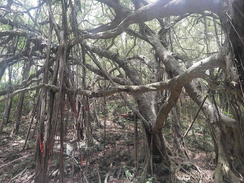 海南定安县翰林镇后领村的亚洲榕树王2