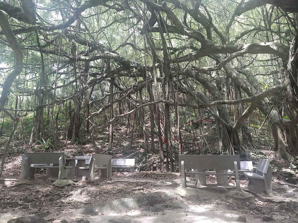 海南定安县翰林镇后领村的亚洲榕树王3