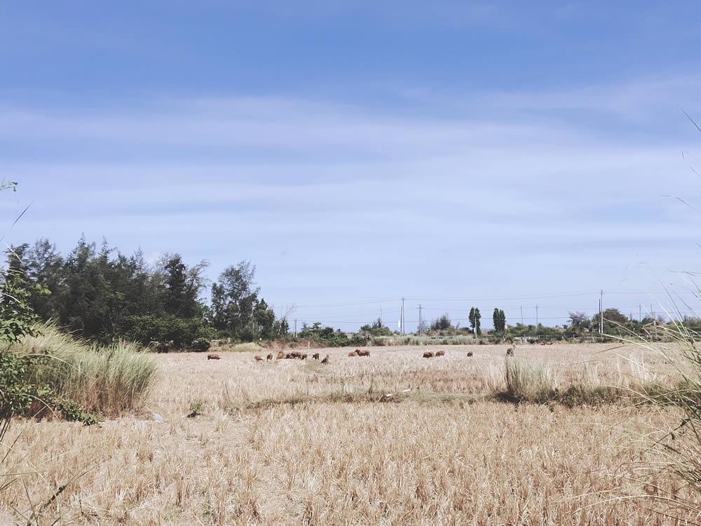 耕牛躺在田里晒太阳