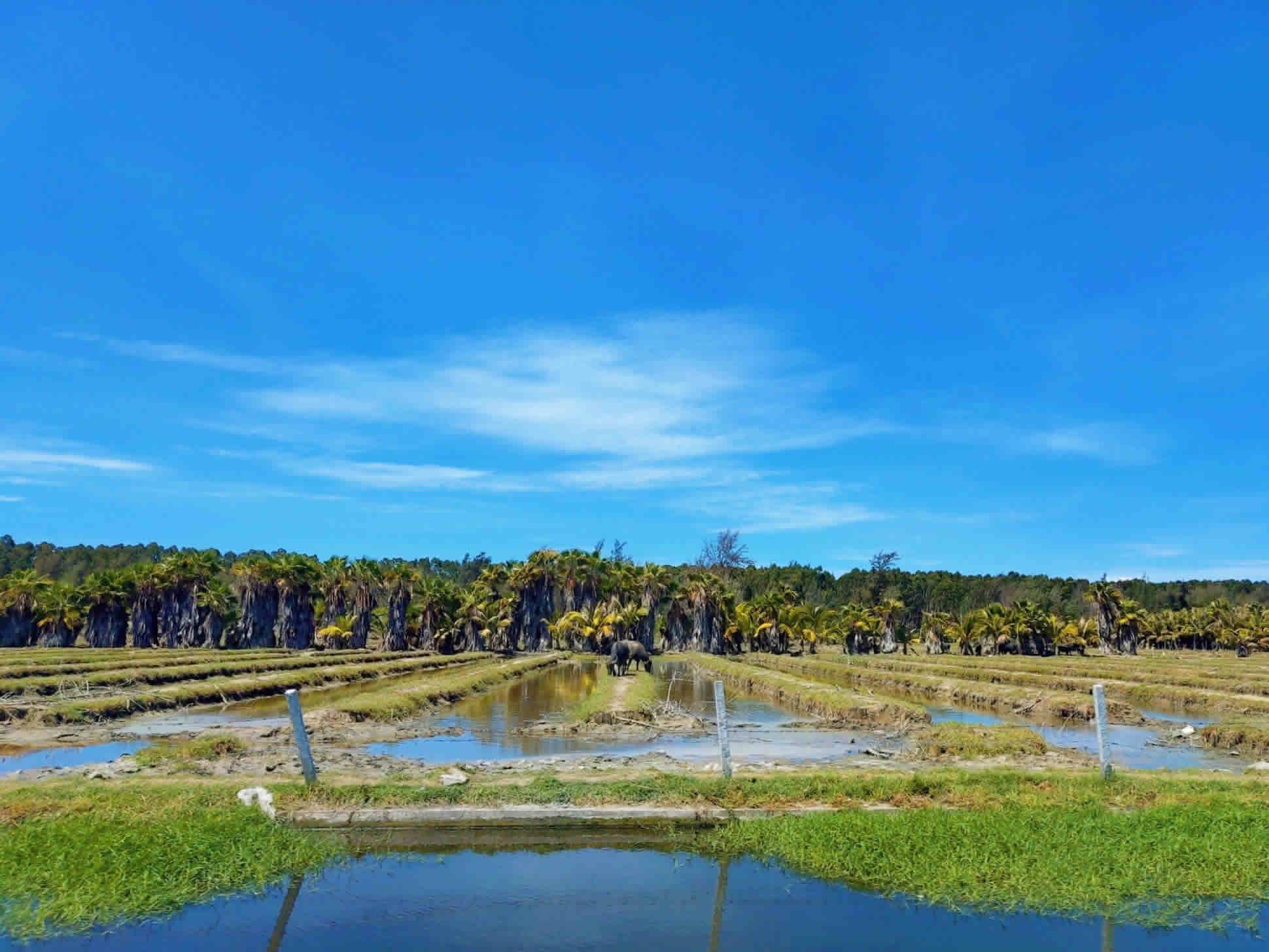 自然生态湿地,耕牛在吃草