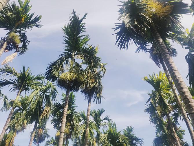 农家乐庭院里面的槟榔树 二
