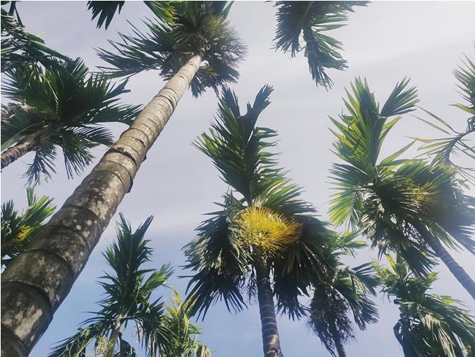 农家乐庭院里面的槟榔树